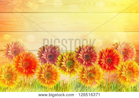 Colorful Gerber flowers against abstract background