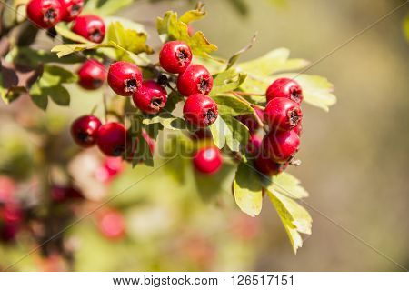 close-up red berries of hawthorn (crataegus monogyna)