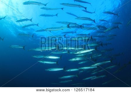 Barracuda fish in blue sea