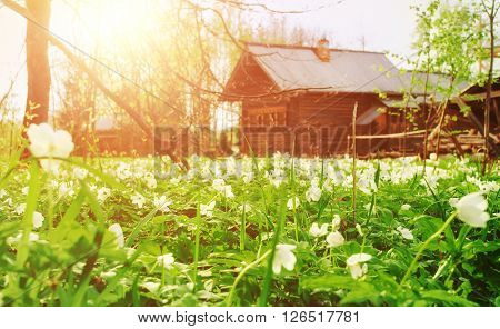 Rural spring landscape - first spring white flowers of anemone on the blurred background of wooden village houses. Selective focus at the foreground. Vintage filter applied.