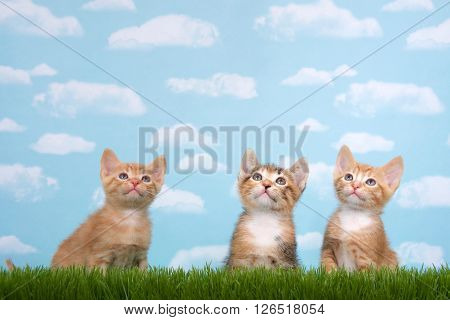 Three kittens in tall grass with blue sky background white fluffy clouds. Looking up. Horizontal presentation with copy space above