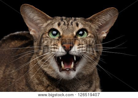 Closeup portrait of Funny Oriental Cat Meowing with opened mouth in Camera Isolated on Black Background