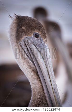 Brown Pelican Bird Wild Animal Portrait Close Up