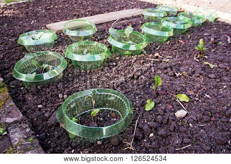 bed in the vegetable garden with young plants and snail protection of plastic selected focus narrow depth of field