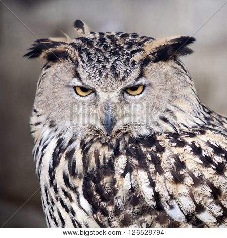 Nature. Motley owl bird portrain. Stern look