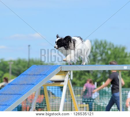 Papillon Running on a Dog Walk at an Agility Trial