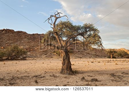 tree in a dry riverbed near the Swakop River, Namibia