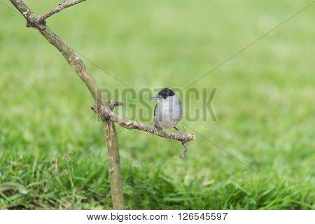 Eurasian blackcap on wooden tree trunk