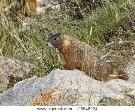 Yellow bellied marmot sitting on a rock
