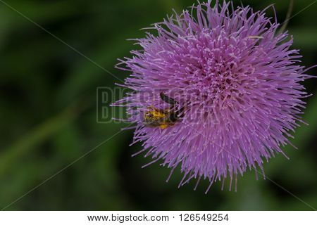 Honeybee covered in pollen in purple thistle flower