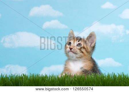 Tortie Tabby kitten perched below tall green spring grass looking forward to the side with blue background white fluffy clouds.