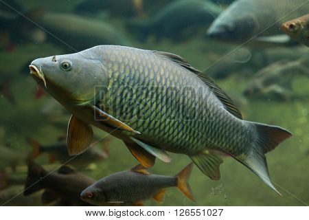 Wild common carp (Cyprinus carpio). Wild life animal.