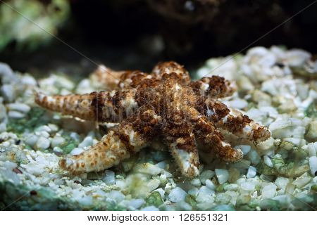 White starfish (Coscinasterias tenuispina), also known as the blue spiny starfish. Wild life animal.