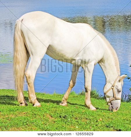 white beauty grazing by a lake