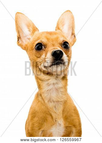 High key shot of an alert chihuahua dog in front of a white backdrop and looking upwards