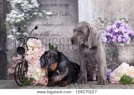 Dachshund rabbit and weimaraner puppy
