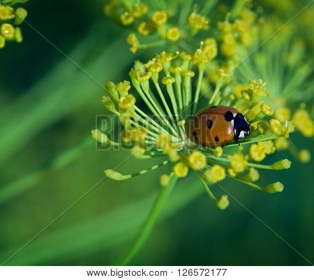 ladybug on green leaf dill