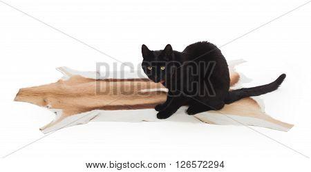Black Cat Sitting On Springbok Animal Fur