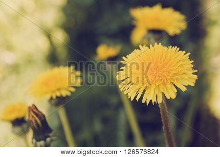 Yellow Dandelion Retro Color