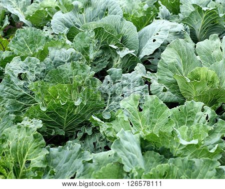 With fields of cabbage. Large leaves of cabbage heads create a unified background from the cabbage.