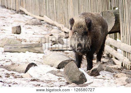 Dark wild swine besides the wooden fence