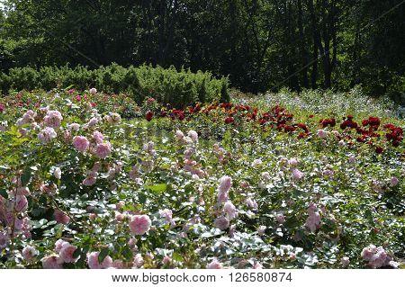 August, 2015  - Tallinn, Estonia. Kadriorg  park in Tallinn, the roses garden in the upper park of the park.