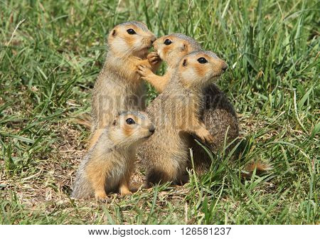 a family of gophers walk under the spring sun
