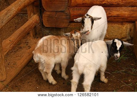 Three wtite little lambs by the wooden stable