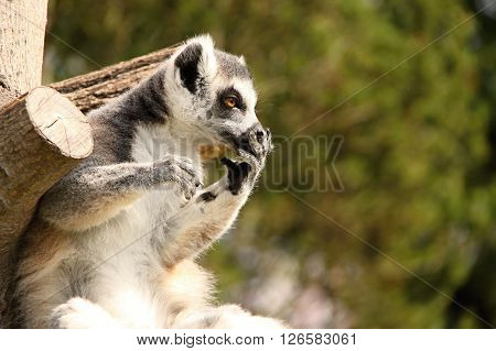 Brown eyed lemur holding its snout by the hand