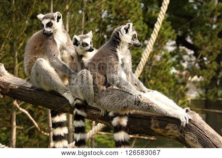 Family of three lemurs holding each other