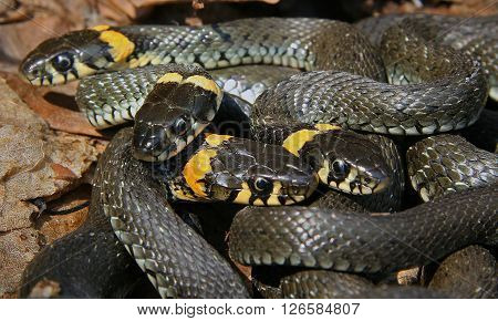 snakes intertwined with each other in the woods