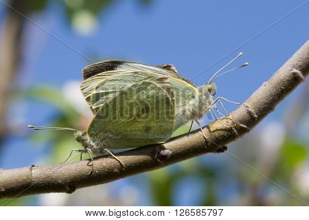 Butterflies Couple On A Branch