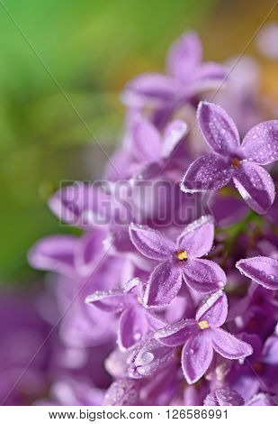 Pastel tender floral natural background from lilac flowers