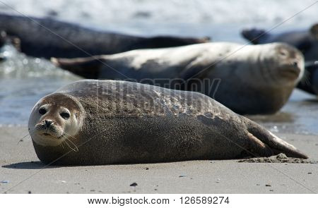 Close up of gray seals (Halichoerus grypus) at the beach at Dune Helgoland Germany