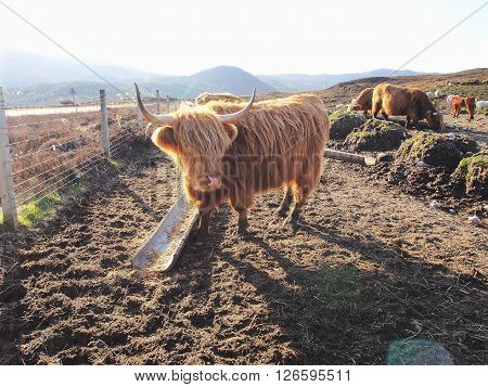 Highland cow at Highland mountain in Scotland