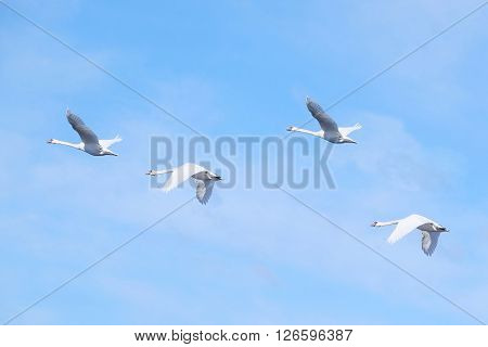 The image of flying swans