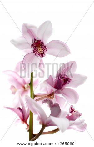 Weiße und Rosa Orchideen