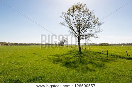 Backlit image of a solitary tree in a Dutch green pasture landscape on a sunny day at the beginning of the spring season. At the branches of the tree the fragile fresh green young leaves are just budding.