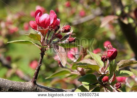 Purple Flowers of decorative apple tree Malus x purpurea Royalty in spring sunny day ** Note: Visible grain at 100%, best at smaller sizes