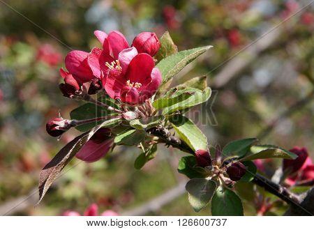 Purple Flowers of decorative apple tree Malus x purpurea Royalty in spring sunny day