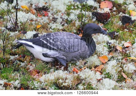 Unusual Black Goose Is Resting On Reindeer Moss
