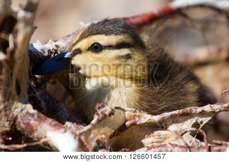 Savage: Little Duck Hid Among Roots Of Trees