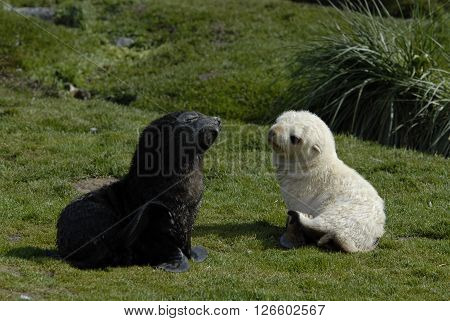 Two baby of Fur Seal  in South Georgia
