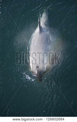 Killer Whale in Anatcrica  swiim along the ship