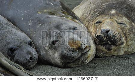 Three Elaphant Seals on the beach in South Georgia