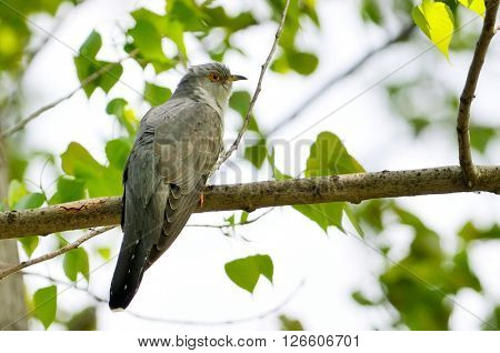 The Common Cuckoo in natural habitat (Cuculus canorus)