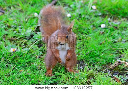 Red Squirrel On Green Meadow