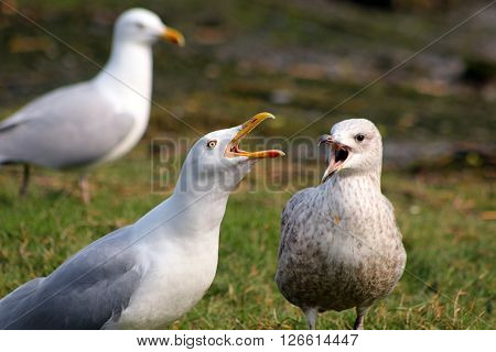 An adult Herring Gull & juvenile calling together