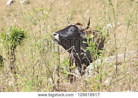 Close-up image of a black bull looking at the viewer as he nibbles on scrub brush.