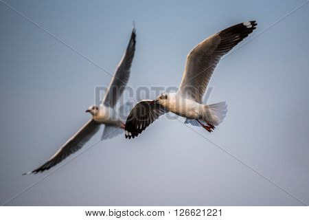 Brown-headed gull flying in the sky background